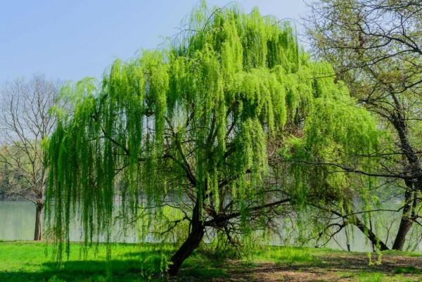 Trauerweide, Salix babylonica
