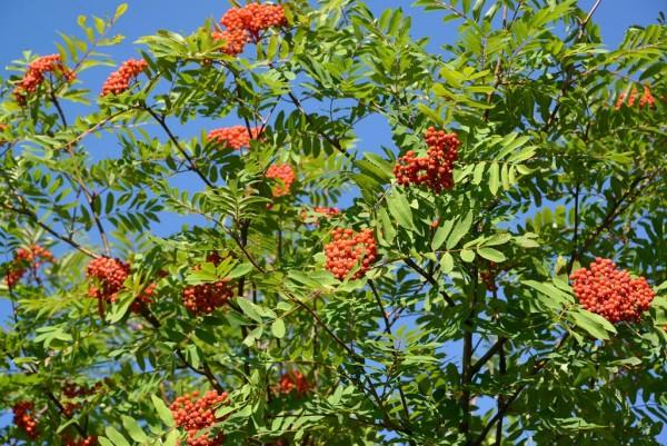 Eberesche, Sorbus aucuparia