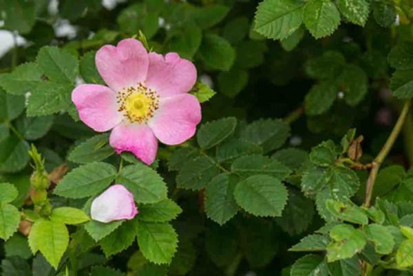 Heckenrose, Rosa canina