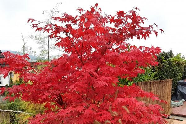 Japanischer Fächerahorn, Acer palmatum Red Flash