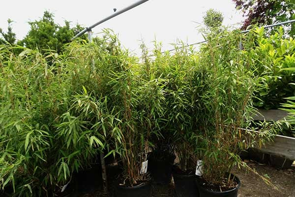 Bambus, Fargesia murielae Rufa