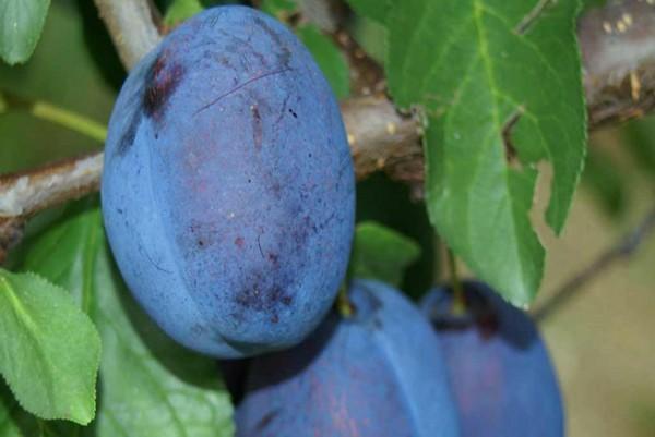 Zwetschge, Prunus domestica Stanley