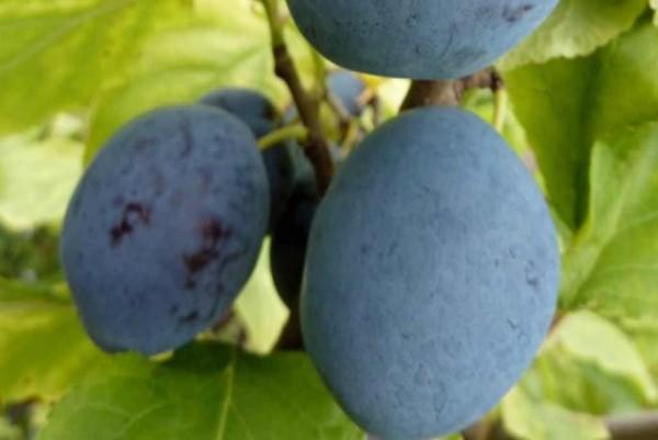 Säulen - Zwetschge, Prunus domestica Imperial