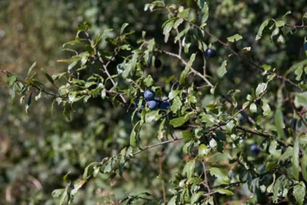 Schlehe, Prunus spinosa