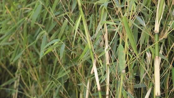Graser Bambus Aus Wien Marchfeldpflanzen Liefern Lassen