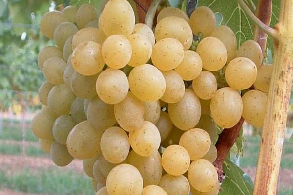 Vitis vinifera Glenora