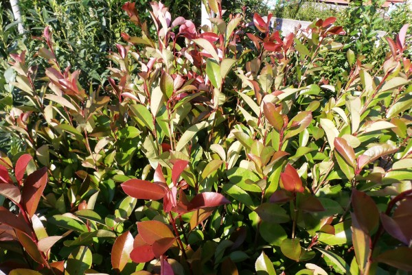 Glanzmispel, Photinia Red Robin