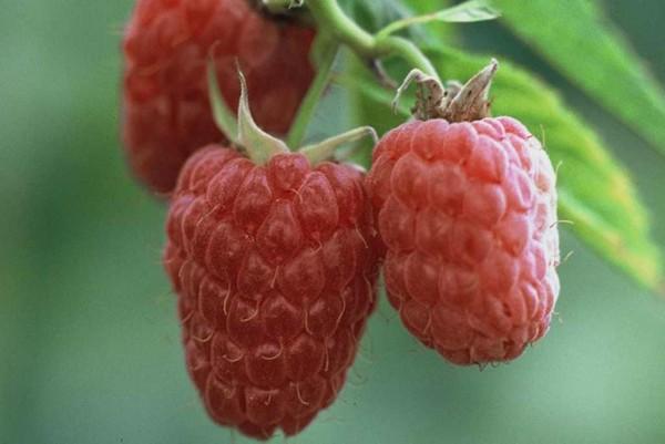 Himbeere, Rubus idaeus Glen Ample