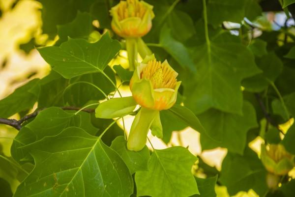Tulpenbaum, Liriodendron tulipifera Fastigiata