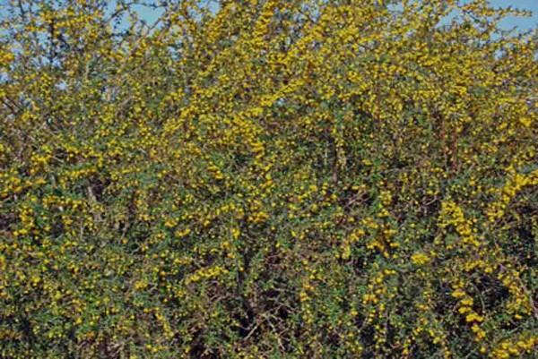 Berberitze, Berberis julianae