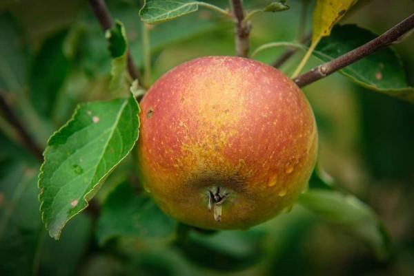Apfel, Malus domestica Coxs Orange