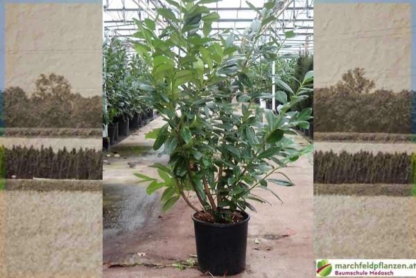 Kirschlorbeer, Prunus laurocerasus Novita