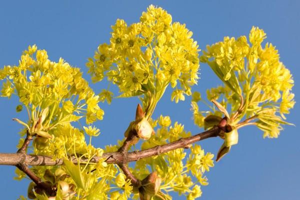 Spitzahorn, Acer platanoides