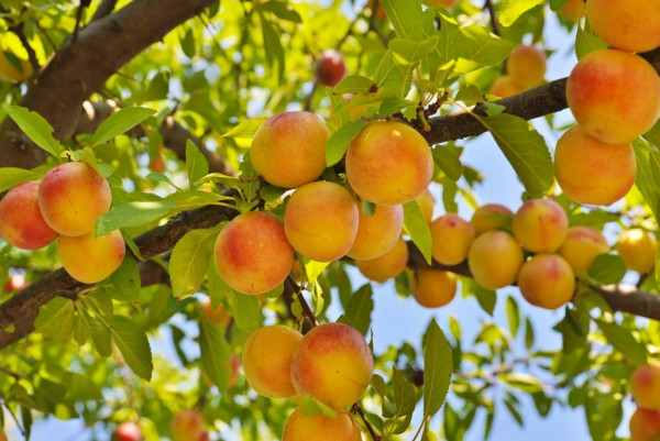 Pfirsich, Prunus persica Red Haven