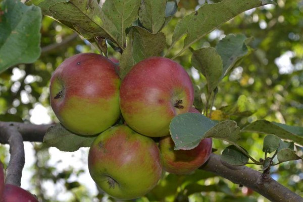 Apfel, Malus domestica Jonathan