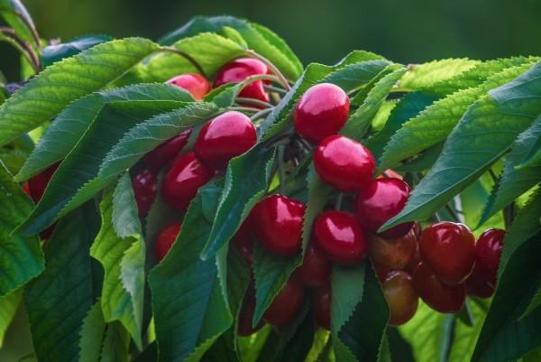 Kirsche, Prunus avium