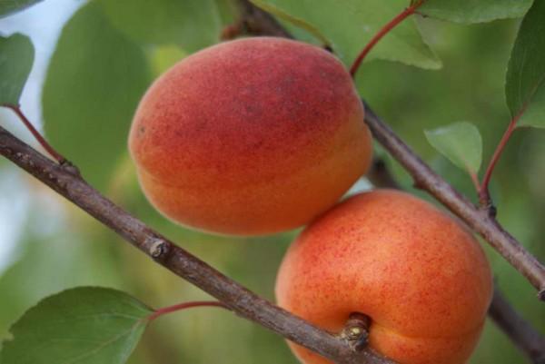 Marille, Prunus armeniaca Goldrich