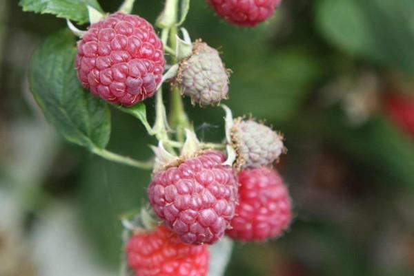 Himbeere, Rubus idaeus Williamette