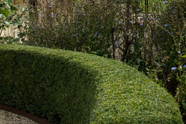 Immergrüne Heckenmyrte, Lonicer nitida