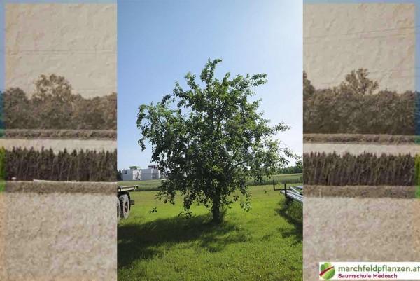Kirsche, Prunus avium Sunburst