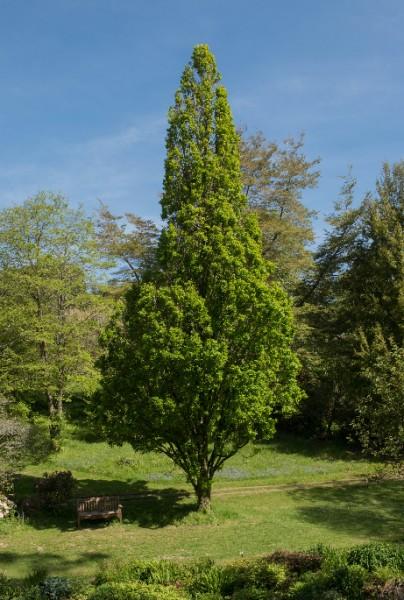 Säuleneiche, Quercus robur Fastigiata