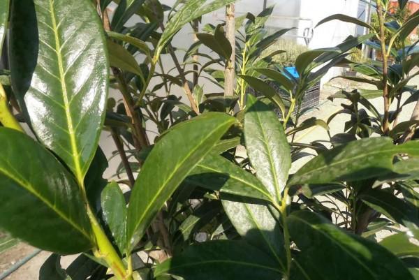 Kirschlorbeer, Prunus laurocerasus Caucasica