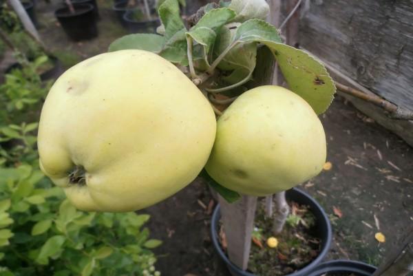 Apfel, Malus domestica Weisser Klarapfel