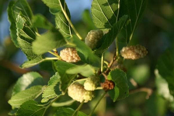 Weißer Maulbeerbaum, Morus alba