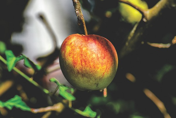 Apfel, Malus domestica Ingrid Marie
