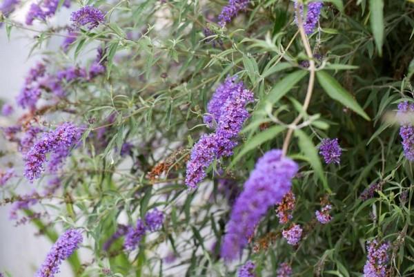 Sommerflieder, Buddleja davidii lila