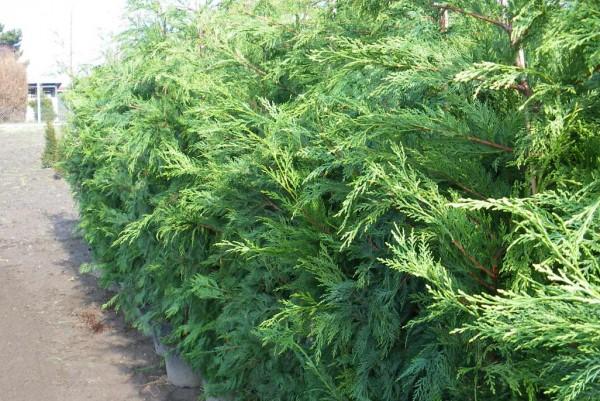 Riesenzypresse, Cupressocyparis leylandii